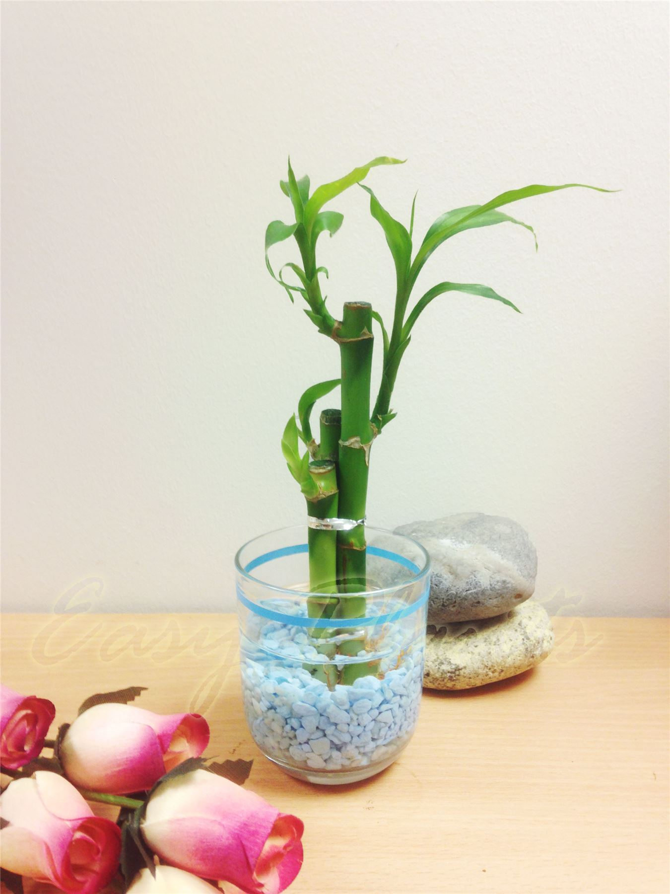 Lucky bamboo ribbon plant stalks in colour vase house