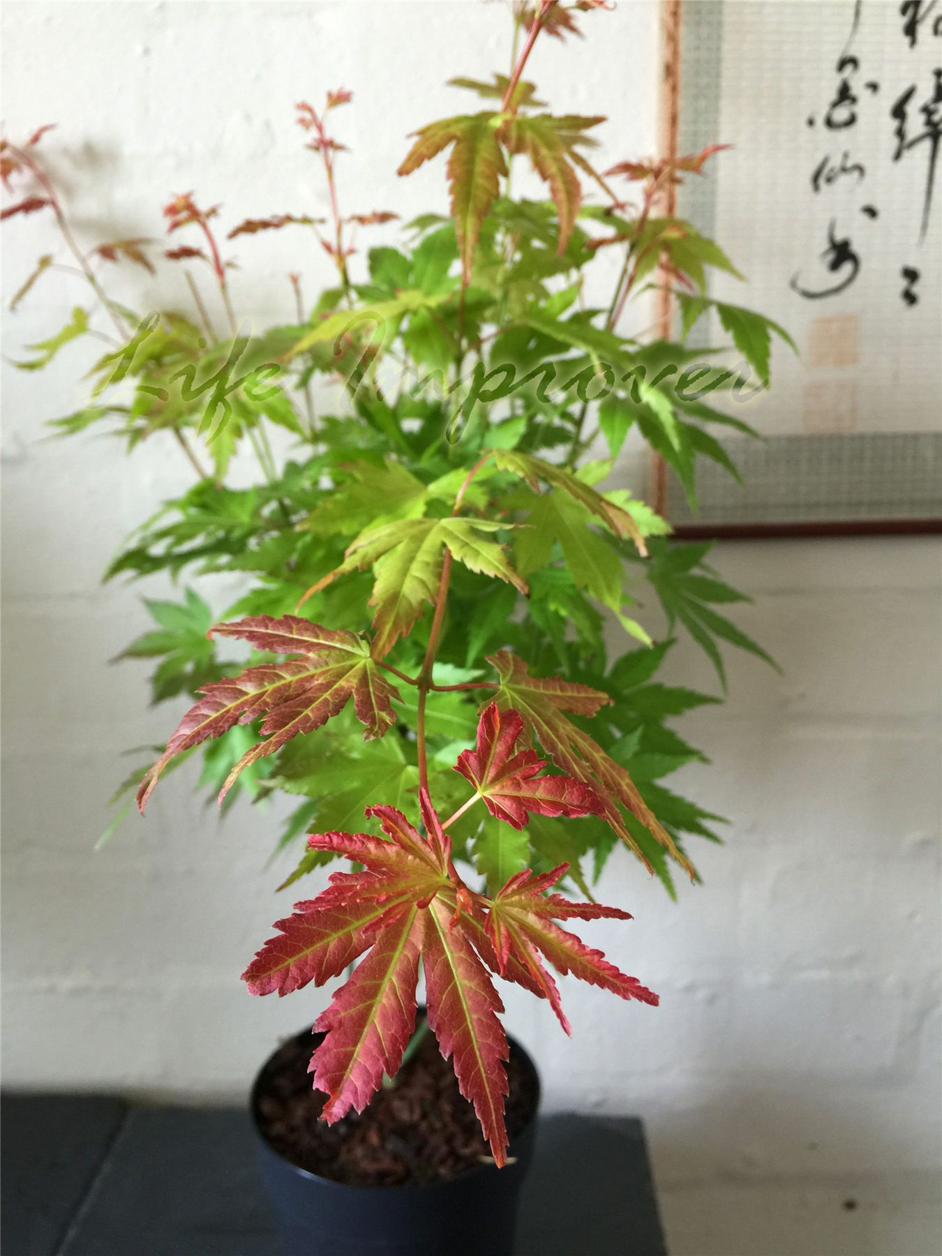 Japanese maple momiji acer palmatum house plant pot for Japanese outdoor plants