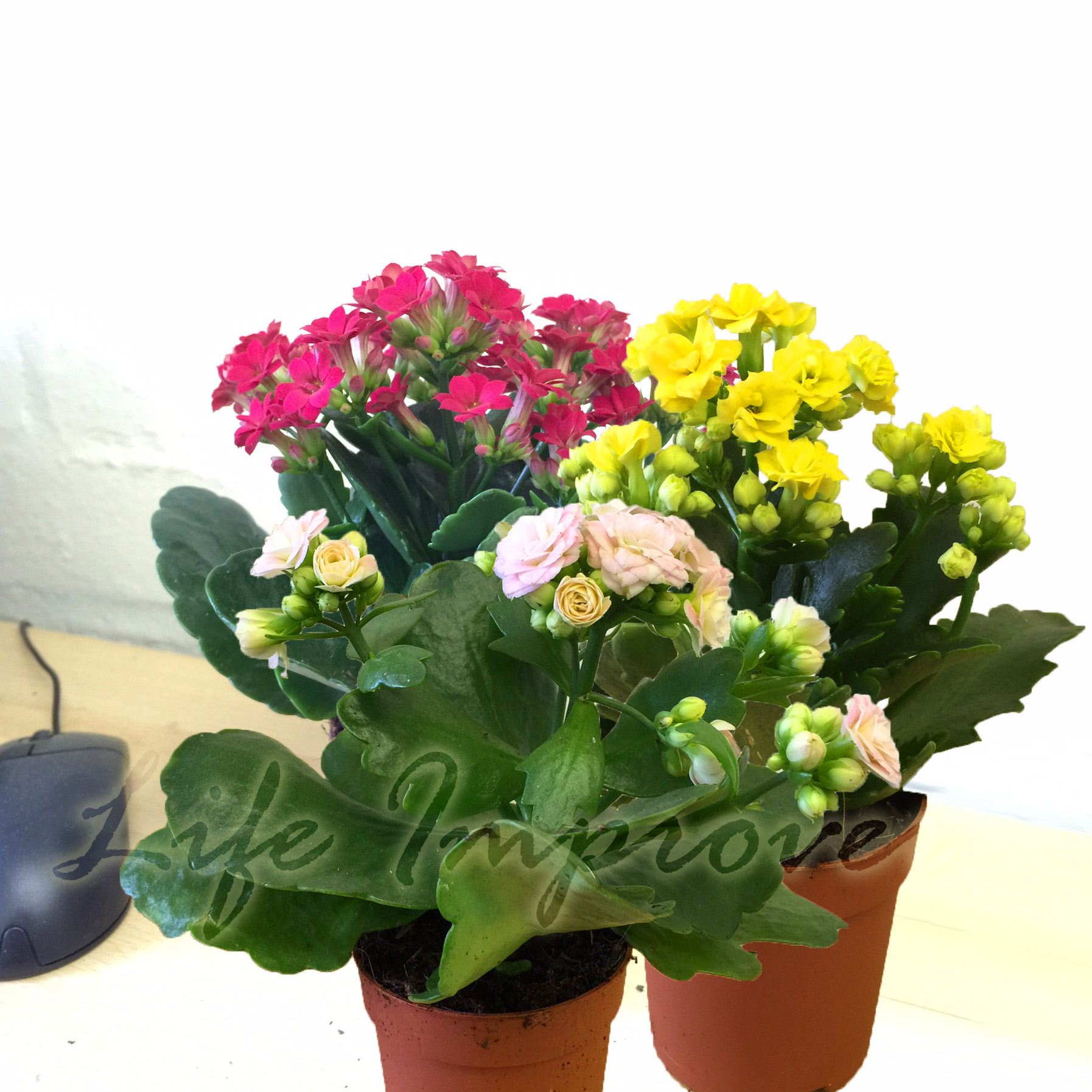 2 3 flaming katy florist calandiva kalanchoe blossfeldiana house plant in pot ebay. Black Bedroom Furniture Sets. Home Design Ideas
