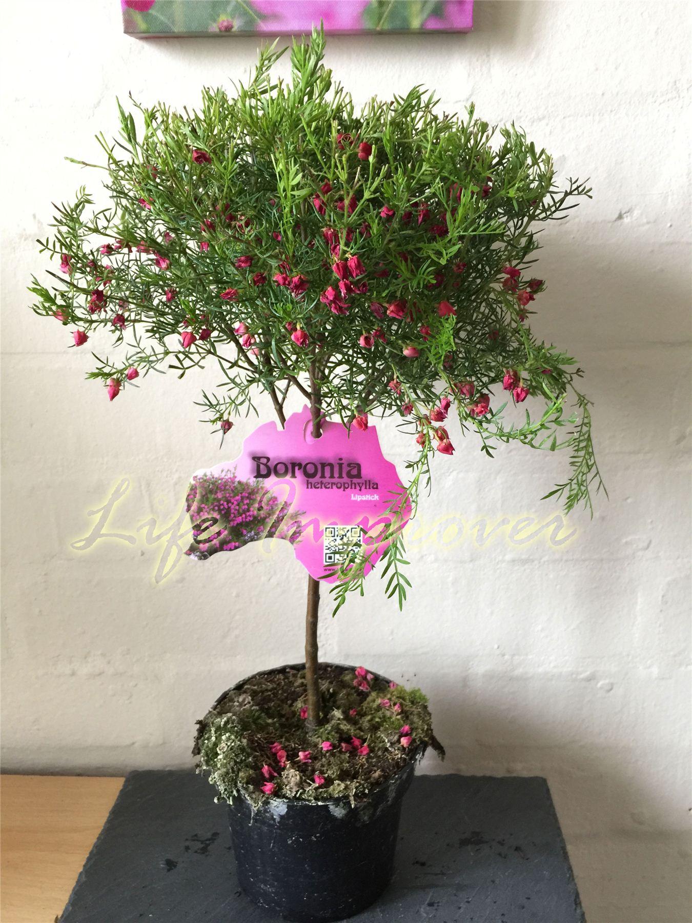 1 fleurs rouges boronia heterophylla lipstick ext rieur for Plante arbuste exterieur