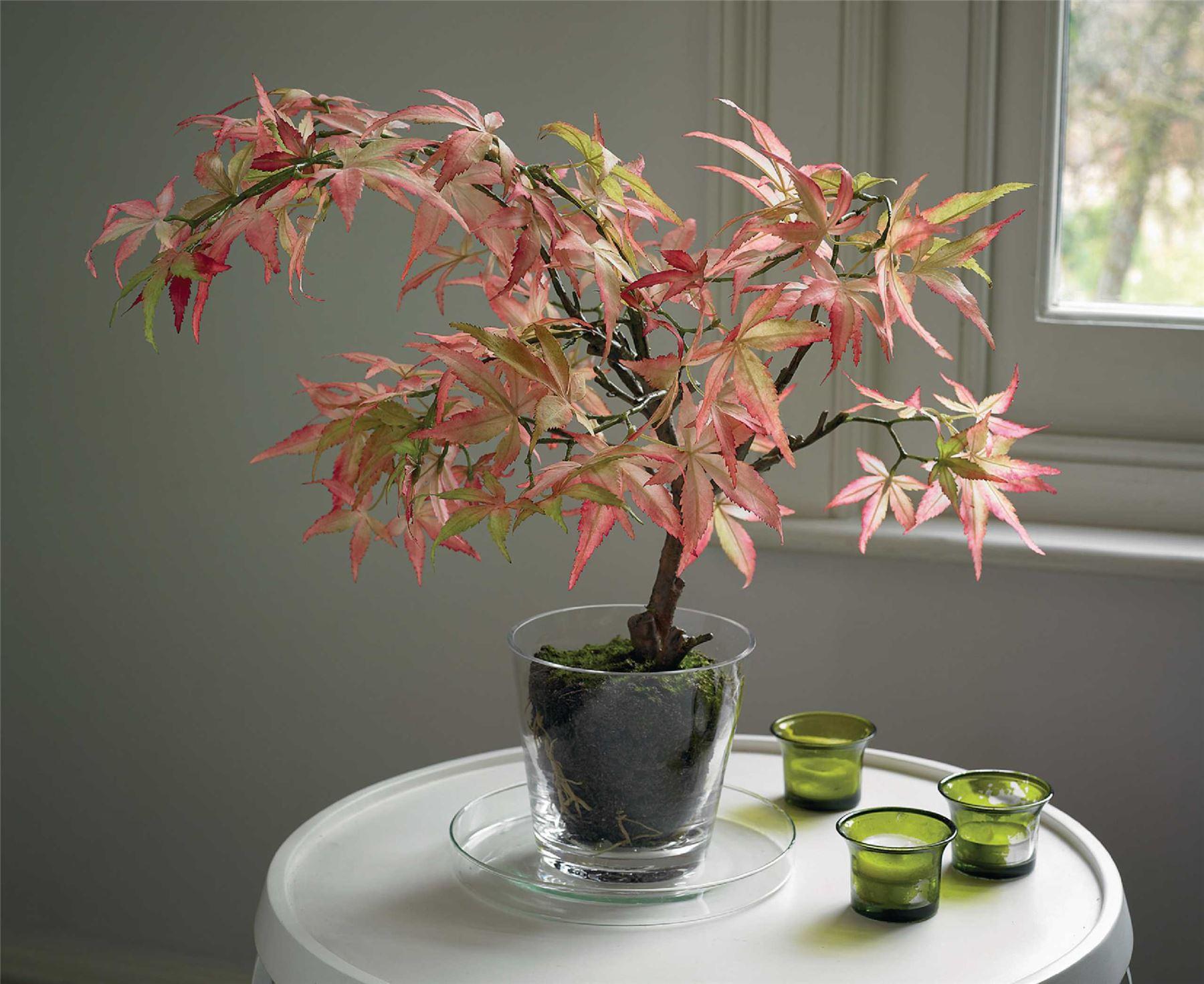 Как выращивать красный клен из семян в домашних условиях